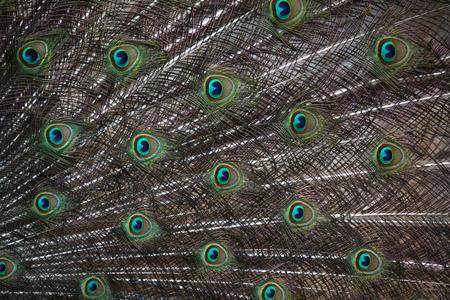 pavo  cristatus: Indian peafowl (Pavo cristatus), also known as the blue peafowl. Wildlife animal.