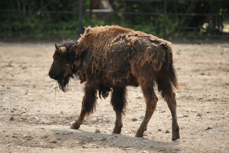 toed: American bison (Bison bison), also known as the American buffalo. Wildlife animal.