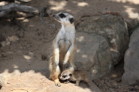 herpestidae: Meerkat Suricata suricatta also known as the suricate with a baby. Wildlife animal.