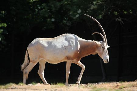 oryx: Scimitar oryx (Oryx dammah), also known as the Sahara oryx or scimitar-horned oryx. Wildlife animal.