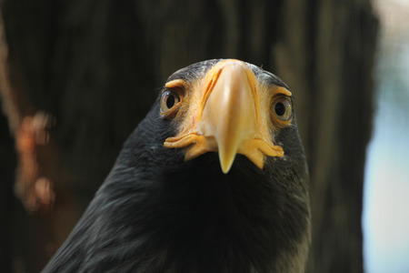 sea eagle: Steller sea eagle Haliaeetus pelagicus. Wildlife animal. Stock Photo