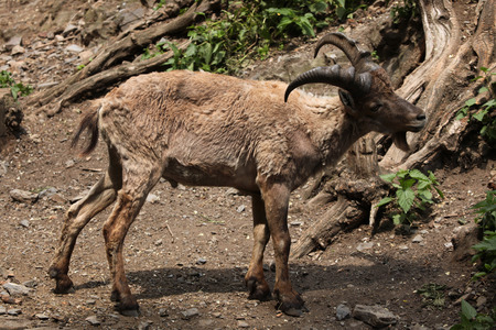 Young male West Caucasian tur (Capra caucasica), also known as the West Caucasian ibex. photo