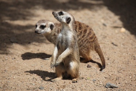 herpestidae: Two Meerkats (Suricata suricatta), also known as the suricate. Wildlife animals.