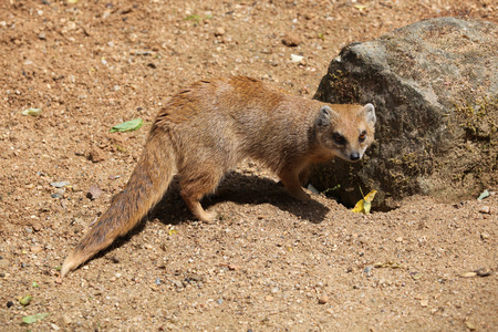 herpestidae: Yellow mongoose (Cynictis penicillata), also known as the red meerkat. Wildlife animal.