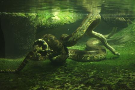 Green anaconda (Eunectes murinus) swimming underwater. Wildlife animal. Standard-Bild