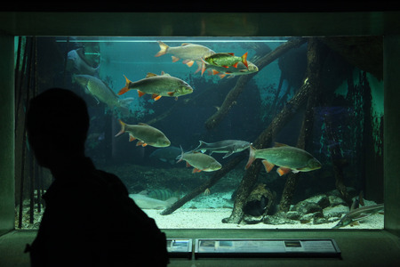 cypriniformes: FRANKFURT, GERMANY - JUNE 15, 2015: Visitor looks at an aquarium with common rudds (Scardinius erythropthalmus) at Frankfurt Zoo in Frankfurt am Main, Hesse, Germany.