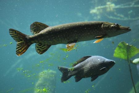 Northern pike (Esox lucius) and wild common carp (Cyprinus carpio). Wildlife animal. Standard-Bild