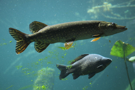 Northern pike (Esox lucius) and wild common carp (Cyprinus carpio). Wildlife animal. Reklamní fotografie