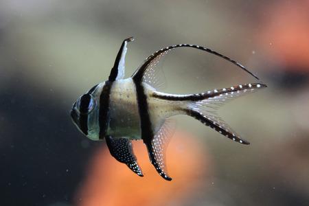 perciformes: Banggai cardinalfish (Pterapogon kauderni). Wildlife animal.