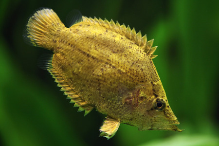 perciformes: Amazon leaf fish (Monocirrhus polyacanthus). Wildlife animal.