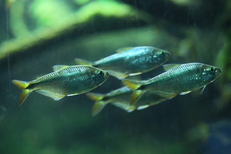 actinopterygii: Mexican tetra (Astyanax mexicanus), also known as the blind cave fish. Wildlife animal.