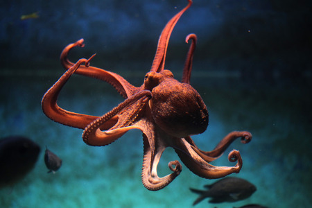 with ocean: Common octopus (Octopus vulgaris). Wildlife animal.
