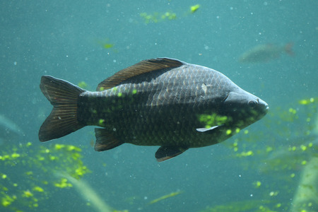 cypriniformes: Wild common carp (Cyprinus carpio). Wildlife animal. Stock Photo