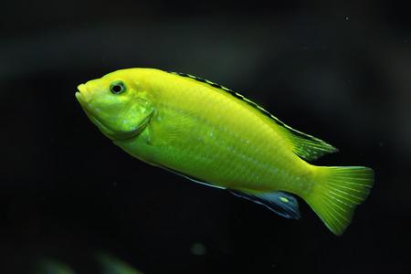 cichlid: Canary cichlid (Labidochromis caeruleus). Wildlife animal.