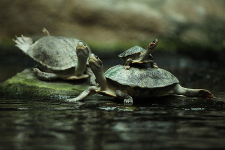 freshwater turtle: Southern river terrapin (Batagur affinis), also known as the Batagur. Wildlife animal. Stock Photo