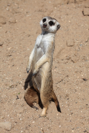 herpestidae: Meerkat Suricata suricatta, also known as the suricate. Wildlife animal.
