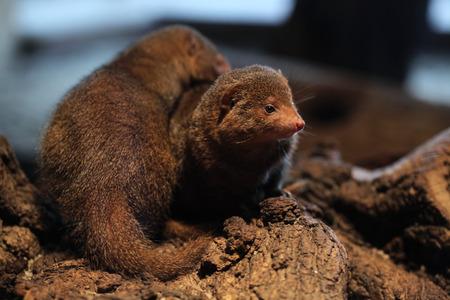 herpestidae: Common dwarf mongoose (Helogale parvula). Wildlife animal.
