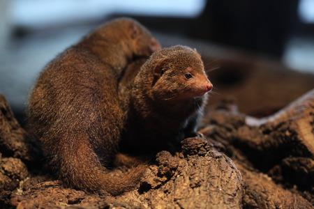 enano: Mangosta enana Com�n (Helogale parvula). Animales de la fauna.