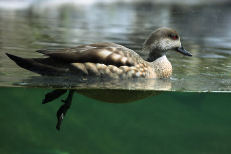crested duck: Crested duck (Lophonetta specularioides). Wildlife animal.