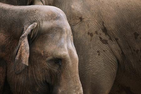 hoofed animals: Indian elephants (Elephas maximus indicus). Wildlife animal.