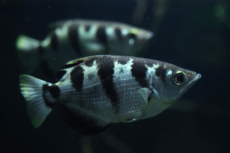 archer fish: Banded archerfish (Toxotes jaculatrix), also known as the spinner fish. Wildlife animal.