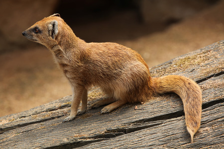 alarmed: Yellow mongoose (Cynictis penicillata), also known as the red meerkat. Wildlife animal.