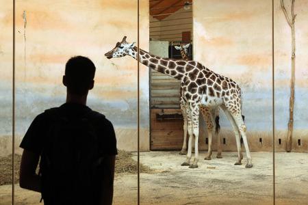 giraffa camelopardalis: PRAGUE, CZECH REPUBLIC - JUNE 2, 2015: Visitor looks at the Rothschild giraffe Giraffa camelopardalis rothschildi at Prague Zoo, Czech Republic. Editorial