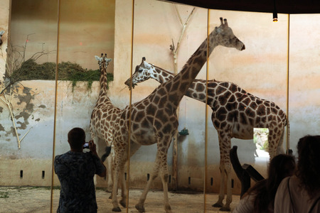 giraffa camelopardalis: PRAGUE, CZECH REPUBLIC - JUNE 2, 2015: Visitors look at the Rothschild giraffes Giraffa camelopardalis rothschildi at Prague Zoo, Czech Republic. Editorial