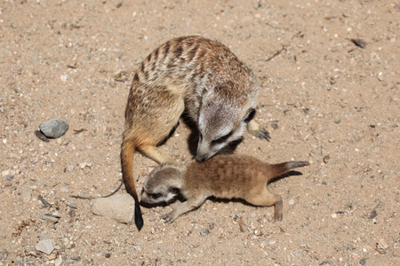 suricata suricatta: Meerkat (Suricata suricatta), also known as the suricate with a baby. Wildlife animal.