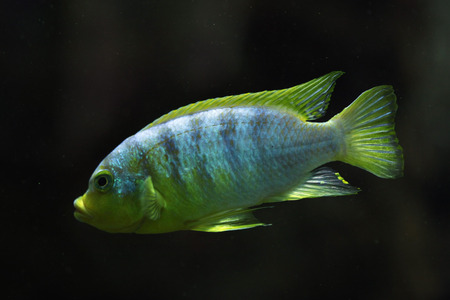 cichlid: Perlmutt cichlid (Labidochromis sp. perlmutt). Wildlife animal.