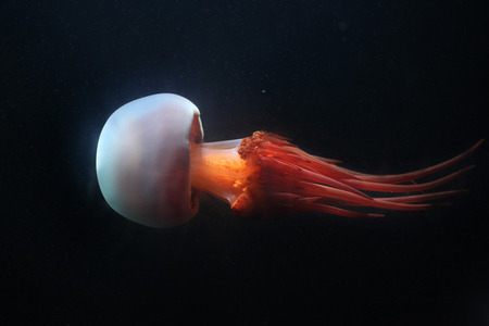 Flame jellyfish (Rhopilema esculentum). Wildlife animal.