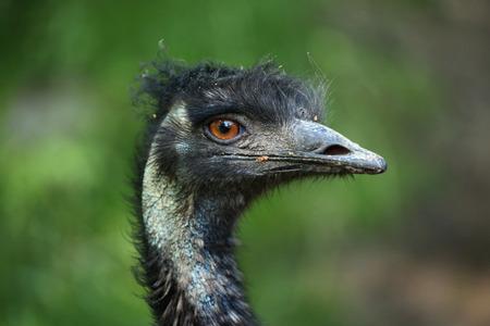 wildlife: Emu (Dromaius novaehollandiae). Wildlife animal. Stock Photo