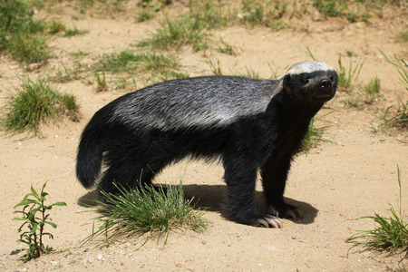 Honey badger (Mellivora capensis), also known as the ratel. Wildlife animal. 스톡 콘텐츠