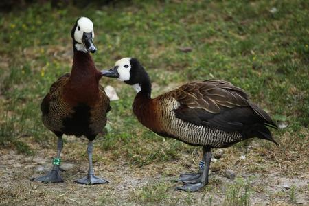 two faced: White-faced whistling duck (Dendrocygna viduata). Wild life animal.