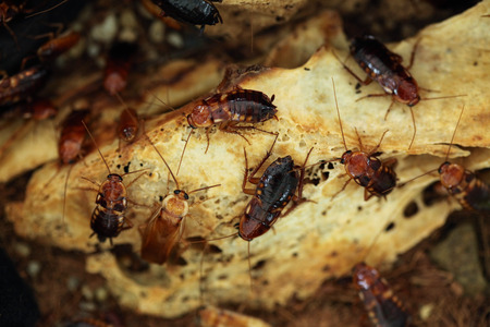 cockroach: Turkestan cockroach (Blatta lateralis), also known as the rusty red cockroach. Wild life animal. Stock Photo