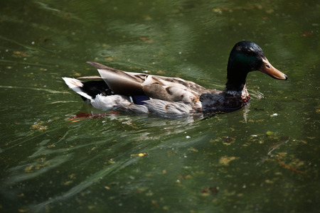 dabbling duck: Male wild duck (Anas platyrhynchos), also known as the mallard. Wild life animal. Stock Photo