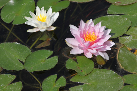 nymphaea: Star lotus (Nymphaea nouchali), also known as the white water lily.