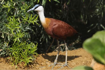 jacana: African jacana (Actophilornis africanus). Wild life animal. Stock Photo