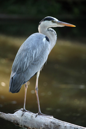 Great blue heron (Ardea herodias). Wild life animal. Stock Photo