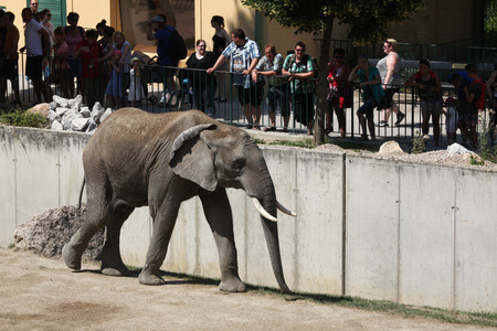 loxodonta africana: VIENNA, AUSTRIA - JUNE 7, 2015: Visitors look at the African bush elephant (Loxodonta africana) at Schonbrunn Zoo in Vienna, Austria. Editorial