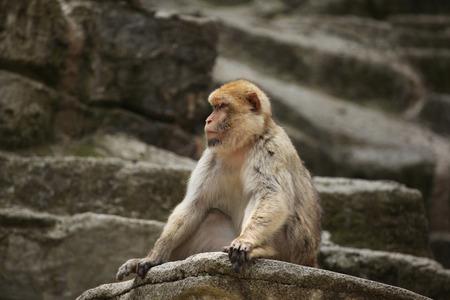barbary ape: Barbary macaque (Macaca sylvanus), also known as the maggot. Wild life animal.