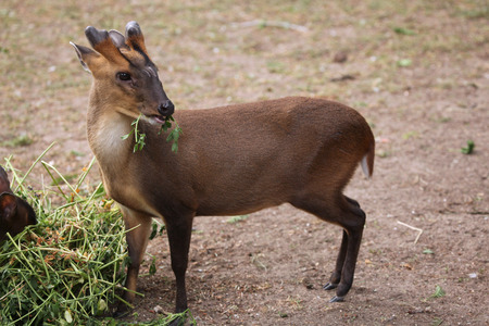 toed: Chinese muntjac Muntiacus reevesi, also known as the Reeves muntjac. Wild life animal.