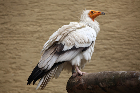 scavenger: Egyptian vulture (Neophron percnopterus), also known as the white scavenger vulture. Wild life animal.