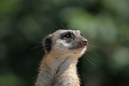 suricata: Meerkat (Suricata suricatta), also known as the suricate. Wild life animal. Stock Photo