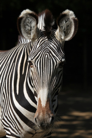 toed: Grevy zebra Equus grevyi, also known as the imperial zebra. Wild life animal.