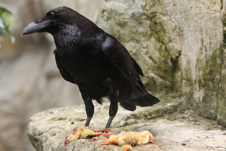 corax: Common raven (Corvus corax) eating dead chicken. Wild life animal.