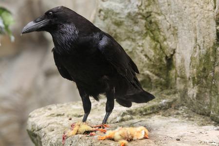 corax: Common raven (Corvus corax) eating dead chicken. Wild life animal.