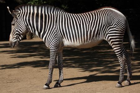 savannas: Grevy zebra Equus grevyi, also known as the imperial zebra. Wild life animal.