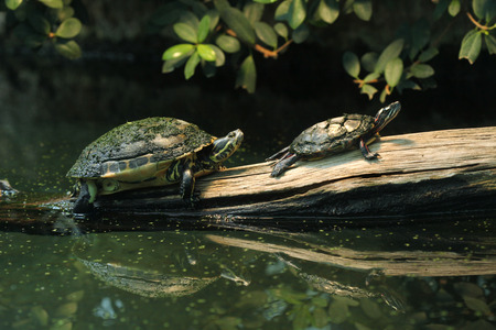 River cooter Pseudemys concinna hieroglyphica and Eastern painted turtle Chrysemys picta picta. Wild life animal. 스톡 콘텐츠