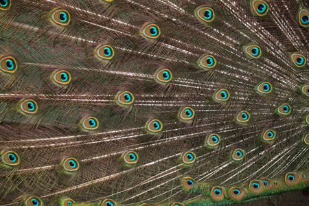blue peafowl: Plumage of the Indian peafowl (Pavo cristatus), also known as the blue peafowl. Wild life animal.